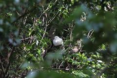 Peace Dove (lostellare) Tags: dove whitedove