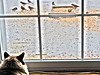 Cat TV (starmist1) Tags: cat watching birds window doublepane deck winter snow cold feline latte