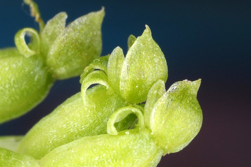 tiny green orchid flowers