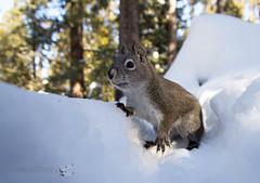 Western Gray Squirrel (Sciurus griseus) (Jbdorey) Tags: westerngraysquirrel usa sciurusgriseus northamerica mammal cute tunnel utah america mountainscedarcity squirrel ut vertebrate forst snow