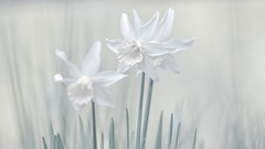Daffodils (PokemonaDeChroma) Tags: daffodils creative processing fineart artistic photography dhwee daffy pokemonadechroma