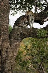 Leopard sighting (crafty1tutu (Ann)) Tags: travel holiday 2016 southafrica africa african animal leopard female motswariprivategamereserve safari wild inthewild free roamingfree crafty1tutu canon7dmkii ef100400mmf4556lisiiusm anncameron naturescarousel naturethroughthelens