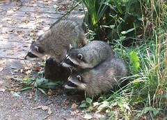 Curious Kids (FernShade) Tags: vancouverbc lostlagoon stanleypark raccoonsraccoonjuveniles procyonlotor wildlife urbanwildlife animals