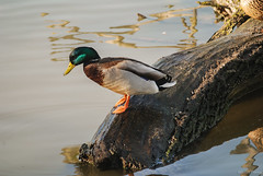 DSC_7389-A1W (Montse Ponsa) Tags: aiguamolls aus aigua vegetacio ocell birds gi girona catalunya emporda