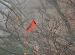 Winter Red (eyriel) Tags: bird cardinal male red color colorful nature wildlife winter snow