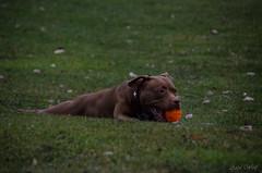 Loca <3 (Anja-Photographie) Tags: loca hund wiese drausen gras spielen ball