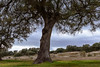 Old holm oak (maguialm) Tags: tree trees green country countryside encina holmoak sky clouds ancient winter d5500 nikond5500 nikkor nikkor1855 bark branch leaf leaves cloudy overcast madrid spain elpardo entorno airelibre paisaje landscape quercusilex nature monte bellota campo europe grass rainy park forest wooded wood woodland natur españa