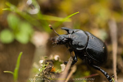 Draft of a male (ILO DESIGNS) Tags: nature fauna insects scarab beetle black meadow closeup macro d3300 sigma15028 europe spain guadarrama madrid outdoors wildlife