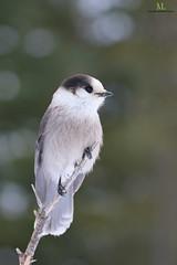 Mésangeai du canada - Gray jay - Perisoreus canadensis (Maxime Legare-Vezina) Tags: bird oiseau nature wild wildlife animal fauna ornithology biodiversity canon winter hiver quebec canada