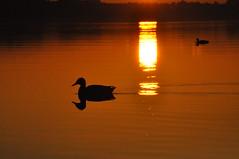 Calm (Gaby Rochefort) Tags: canard duck lake lac sunset contrast shadow peace nature reflection sunlight water light calm sun orange silouhette