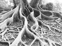 A Moreton Bay Fig with sculpted legs, I mean roots. 😉  #moretonbayfig #checkouttheseroots #florida (SarahMagda) Tags: florida moretonbayfig checkouttheseroots