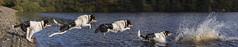 Tryck...Jump (redshift1960) Tags: tryck bordercollie dog jump splash water canon 5dmk3