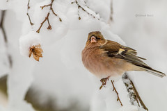 Chaffinch male in search of food. (Giosuè Bucci) Tags: fringuello winter wildlifephotography
