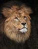 african lion Caesar   artis JN6A2390 (j.a.kok) Tags: leeuw lion afrikaanseleeuw africanlion afrika africa cat kat predator caesar artis pantheraleoleo