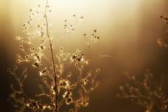 """Who said ""Blue Monday""?"" (Ilargia64) Tags: bluemonday nature light goldenlight gold flowers beauty happiness warmcolors amayasanchez"