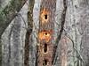 The Den Tree (Lana Pahl / Country Star Images) Tags: ilovenature flickrnature nature natureforallfloraandfauna simplynature