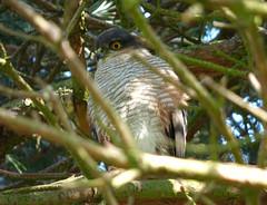 Sparrowhawk (Peanut1371) Tags: sparrowhawk hawk bird birdofprey woodlandbird nationalgeographicwildlife