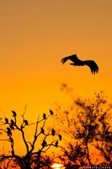 Waiting to feed (F L O R E N T D U C H E N E) Tags: vulture kruger southafrica travel wilderness florentduchene nature wildlife krugernationalpark colors sky vautour bird sunset