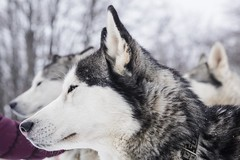 Snowdog (• Julien Laroche) Tags: chien dog husky race neige snow froid traineau couleur blanc white color animal animaux animals jlaphotographie sonyalpha colombier seyssel ain fetedelaneige grandcolombier oeil eyes yeux huskies huskie