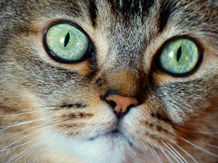 Hello (KerKaya) Tags: cat girl sweet cute green eyes britishshorthair kerkaya kitty katze kat face portrait beauty beautiful nose whiskers macro closeup