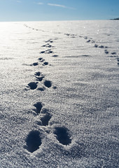 Hare footprints (OnkelEnno) Tags: snow animal hare traces backlight