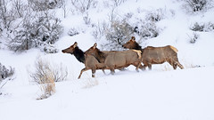 Running cows, Rocky Mountain elk (Cervus elaphus nelsoni) (rangerbatt) Tags: