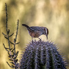 Pick... Pick... Stick ! (Portraying Life, LLC) Tags: unitedstates wren cactus bird ventanacanyonwash wild handheld nativelighting arizona pima