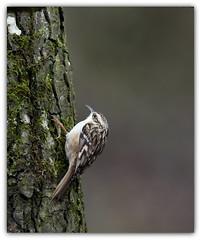 Grimpereau des jardins (guiguid45) Tags: nature sauvage oiseaux bird passereaux loiret forêt d810 nikon 300mmf28 grimpereau certhiabrachydactyla grimpereaudesjardins