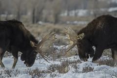 Battling Juggernauts (David Applebury) Tags: 2012 davidapplebury davidappleburyphotography grandteton grandtetonnationalpark tetons december moose wildlife winter wyoming unitedstates us