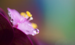 Sometimes when it rains (setoboonhong ( On and Off )) Tags: nature outdoor garden flower foliage leaves water drops dew macro depth field colours bokeh blur reflections violin guitar music secret sometimes when it rains album earthsongs 2005