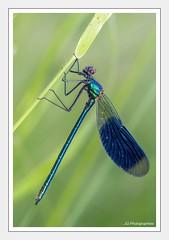 Libellule (JG Photographies) Tags: france macro nature animal europe allier auvergne insecte libellule caloptéryx canon7d jgphotographies