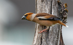 Hawfinch (tods_photo) Tags: