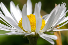 Daisy (damien.crossan) Tags: summer white flower colour macro green up field yellow closeup garden petals dof close vibrant kitlens sunny ring daisy shallow colourful pollen depth reversing