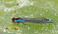 Red-eyed Damselfly (Erythromma najas) (another walt) Tags: macro insect damselfly redeyed najas erythromma tamron70300lddi