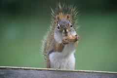 Red Squirrel at Birdfeeders (Saline, Michigan) - June 13 & 14, 2015 (cseeman) Tags: squirrel michigan birdfeeder feeder perch hungry saline redsquirrel squirrelfeeder redsquirrel06142015