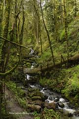 Forest Park, Portland Oregon (Anna Calvert Photography) Tags: trees nature overgrown oregon creek river portland landscape moss scenery unitedstates hike ferns forestpark hikingtrail macleaypark