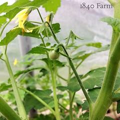 "Our First Heirloom Tomato of the Season!  Look what I just discovered while doing my morning room of chores.  I was watering the heirlooms in the hoop house and there it was:  our first heirloom tomato on the vine!  Start the countdown until we can harves • <a style=""font-size:0.8em;"" href=""http://www.flickr.com/photos/54958436@N05/18882635672/"" target=""_blank"">View on Flickr</a>"