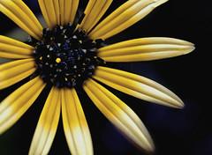 El sol en la tierra (_Zahira_) Tags: flower color macro yellow lafotodelasemana flora flor olympus amarillo polen vegetal petalo ngr e500 uro espacionegativo 35mmmacro ltytr1