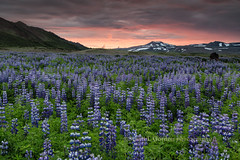 In My Dreams (chasingthelight10) Tags: dawn volcano iceland places things volcanoes lupine ringroad lakemyvatn