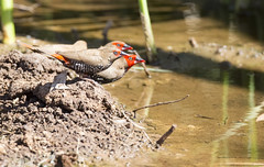 karratha australianbirds bendon paintedfiretail 800mmf56