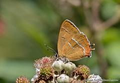 Brown Hairstreak-Thecla betulae (snapp3r) Tags: brown butterfly hairstreak gorse butterflyconservation alners