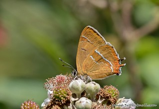 Brown Hairstreak-Thecla betulae