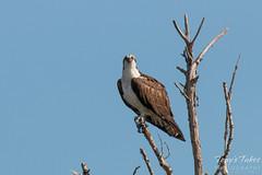 Osprey takes a break from fishing