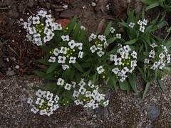 Alyssum Perennial 2015 (Fleurette Jardin) Tags: white flower garden border july fragrant perennial alyssum 2015 reseeding