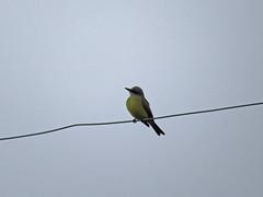Tropical Kingbird (farpost) Tags: birds