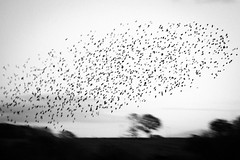 Brockholes November 2016-8318 (James Carlsson) Tags: d7200 starling brockholes nikon tamron 150 600mm murmuration