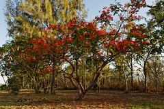 Flamboyants (Tordobal84) Tags: archipeldesmascareignes 974 rouge iledelareunion reunion ete oceanindien fleurs flamboyant arbre