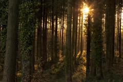 Blackborough Morning (jebob) Tags: forest dawn morning devon jebob light shadows trees foliage uk ivy bark sunburst canopy ground leaves woodlands woods winter sunrise