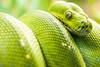 Snake Eyes (Thomas Hawk) Tags: america forestpark greentreepython missouri mo saintlouiszoo stlouis usa unitedstates unitedstatesofamerica python reptile snake zoo fav10 fav25 fav50 fav100