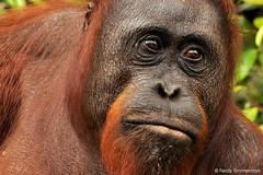 Wild Bornean Orangutan, Pongo pygmaeus (Linnaeus, 1760) - Tanjung Puting NP (Ferdy Timmerman) Tags: animal mammal texture portrait outdoor wild wildlife nature primate ape endangered borneo indonesia ferdytimmerman tanjung puting nationalpark orangutan orang jungle nikon d90 nikkor 105 macro face intelligence primal orange